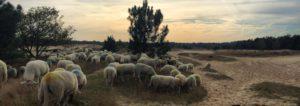 Een kudde schapen zonder slaapproblemen bij zonsondergang op de heide.